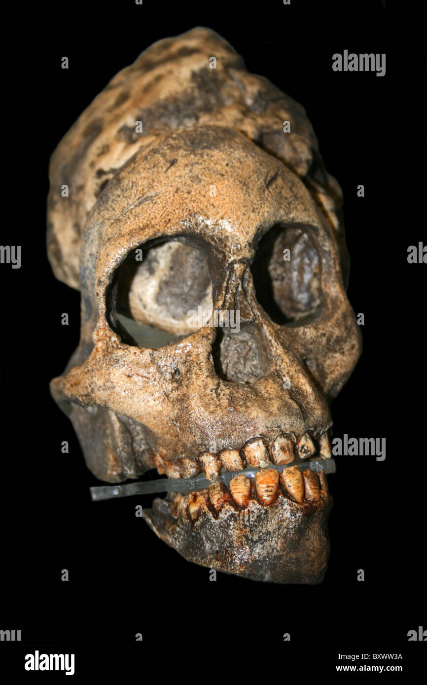Replica Skull Of The Early Hominid Australopithecus africanus - Stock Image