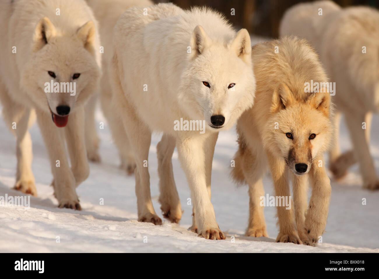 Arctic Wolves; Canis lupus arctos - Stock Image