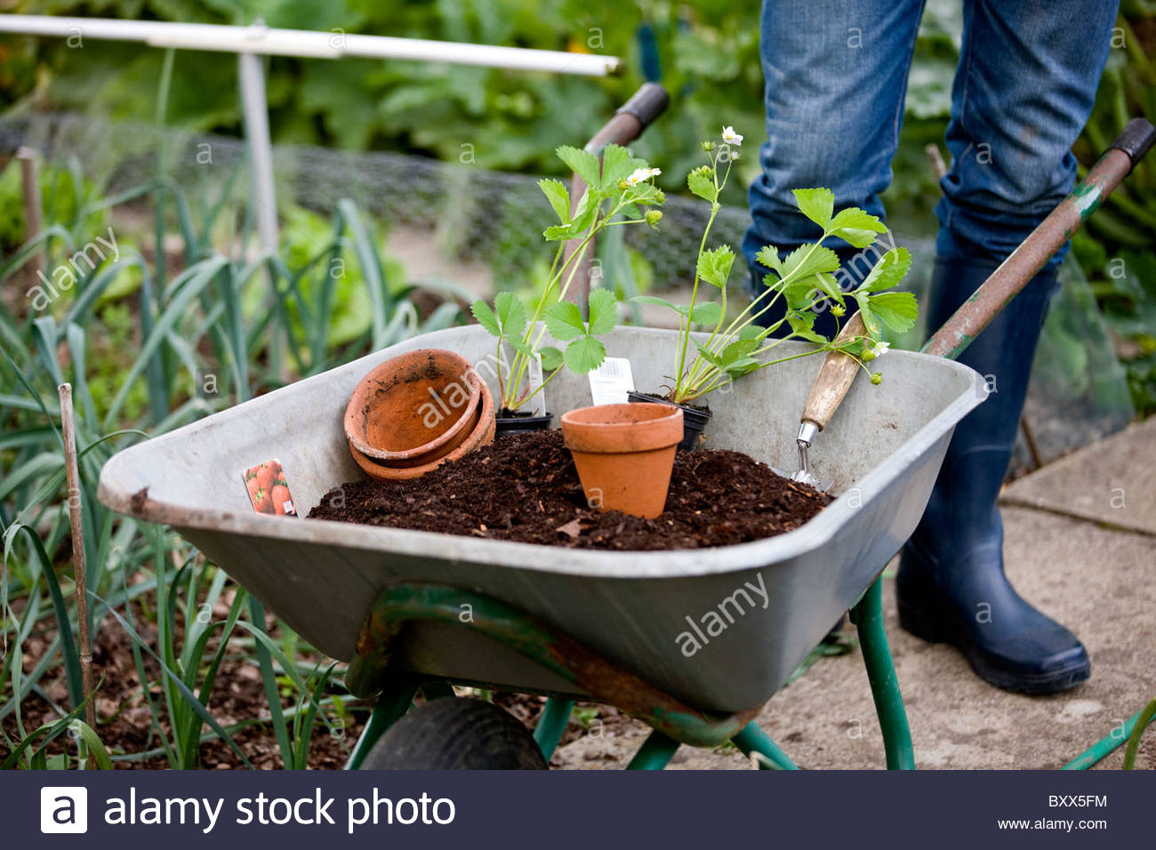 A gardener standing next to a wheelbarrow containing compost and strawberry plants - Stock Image