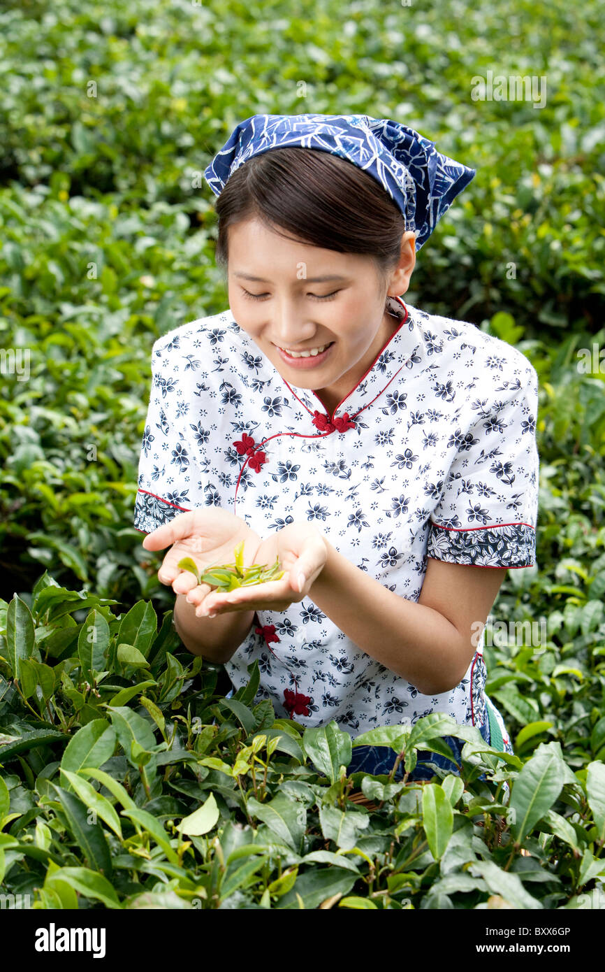 Young Woman in a Tea Field Holding Fresh Tea Leaves - Stock Image
