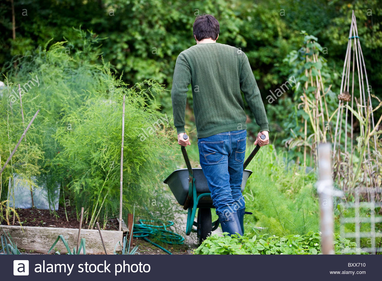 A man pushing a wheelbarrow on an allotment, rear view - Stock Image