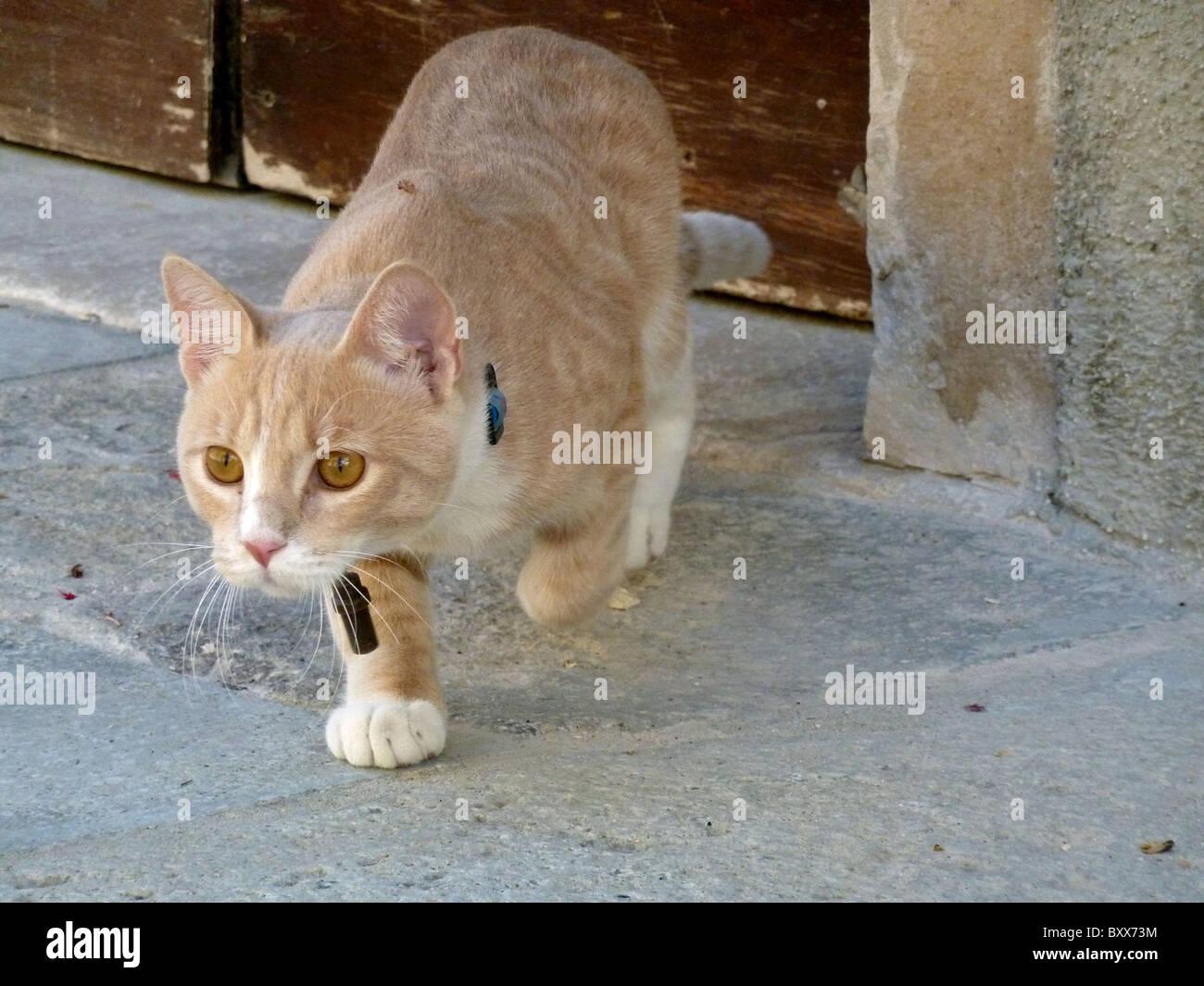 FAWN COLOURED CAT VENICE ITALY VENICE ITALY VENICE ITALY 11 September 2010 - Stock Image