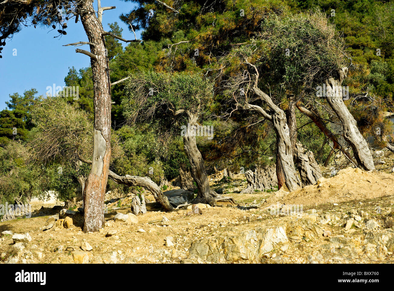 Centuries-old olive tree on the island of Thassos Greece Stock Photo