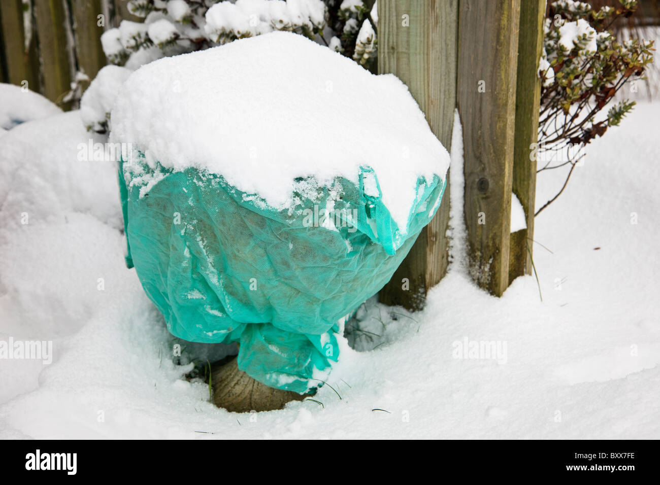 Horticultural fleece covers protecting outdoor garden plants against frost and snow in winter. UK - Stock Image