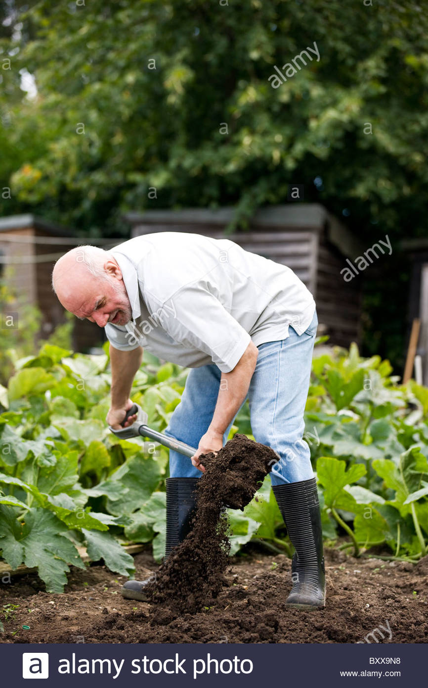 A gardener digging on an allotment - Stock Image