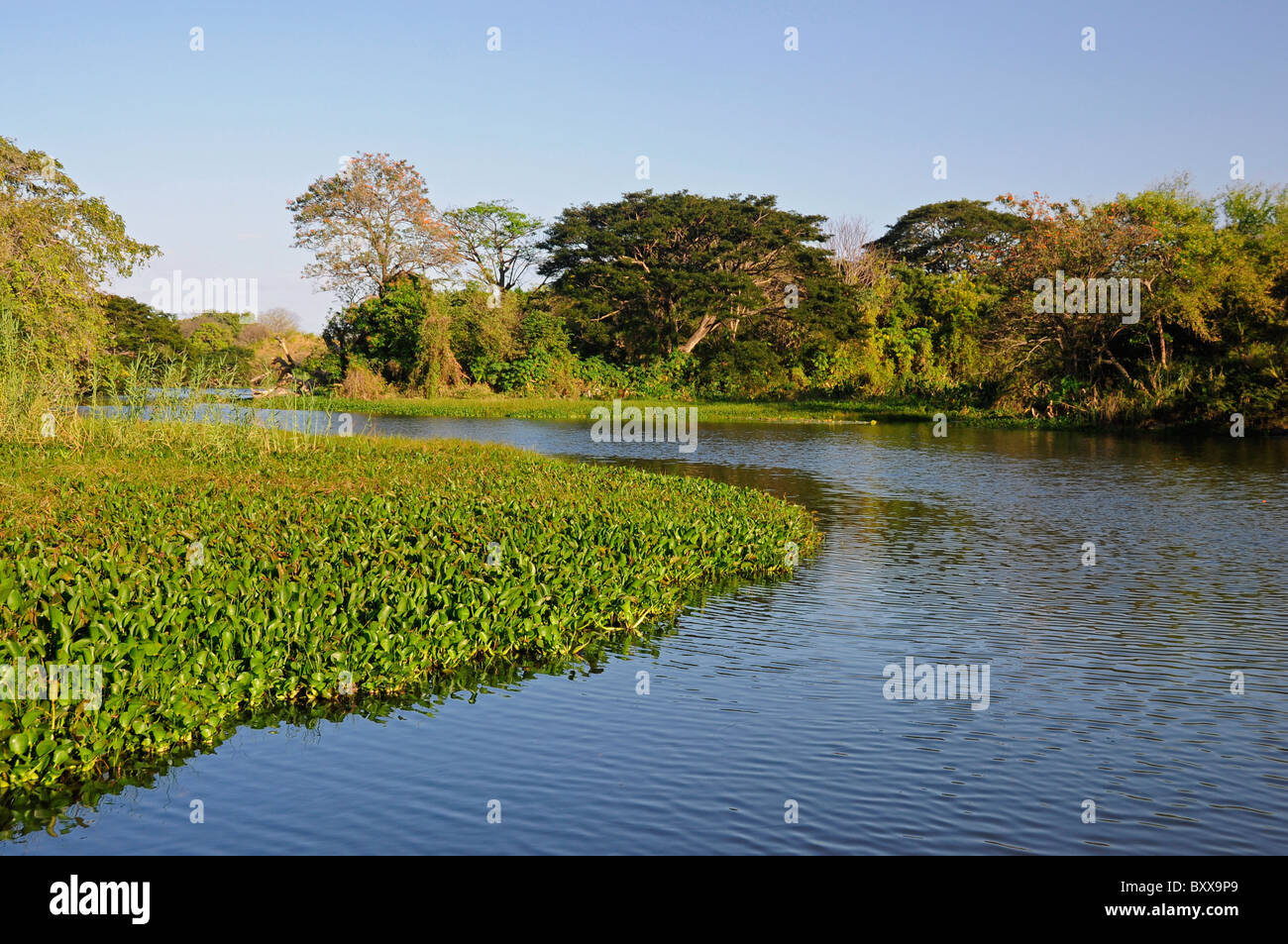 Floating Water Hyacinth Eichhornia Crassipes in Lake Nicaragua, in the bay of Granada, Nicaragua, Central America - Stock Image