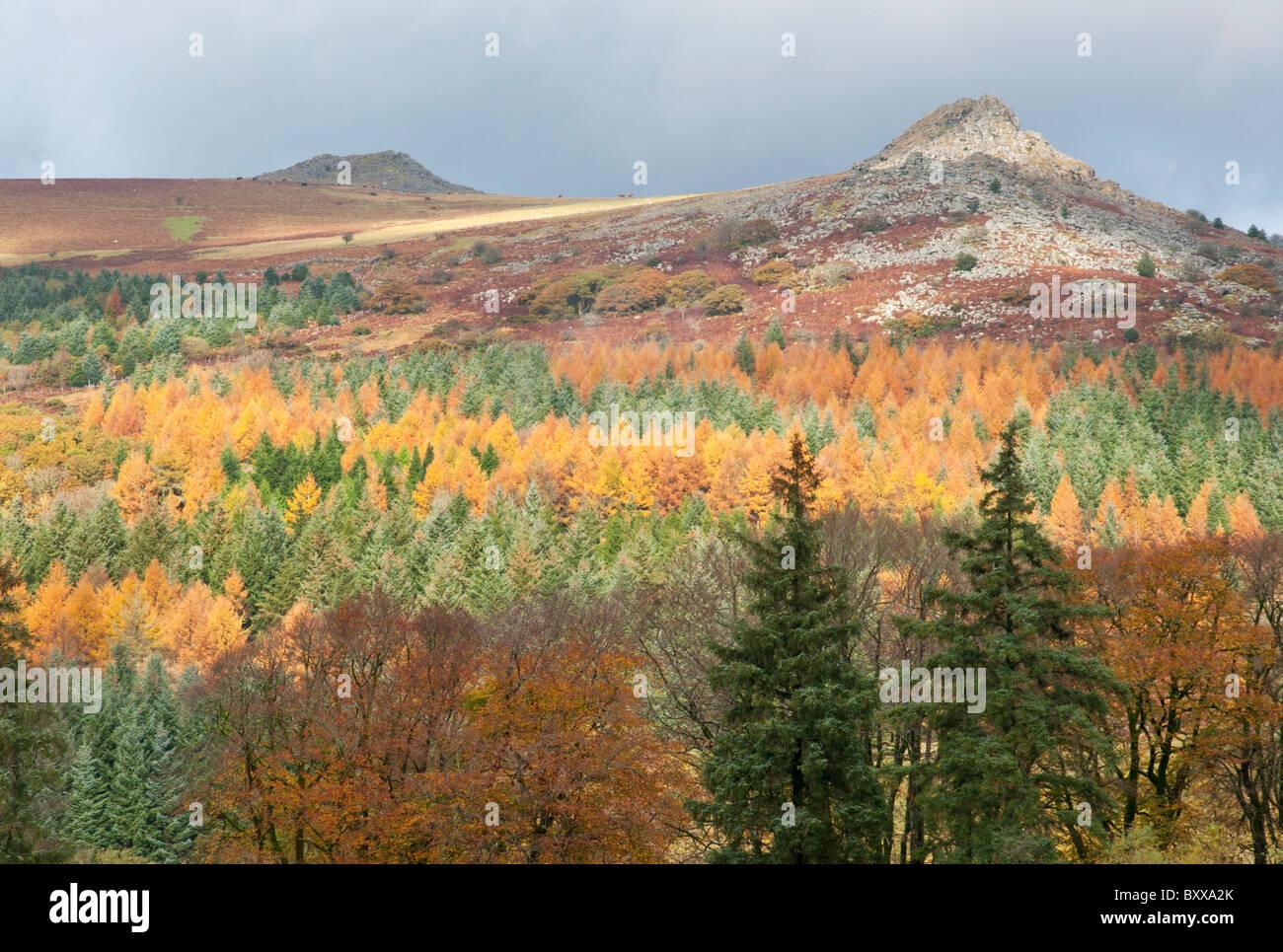 Layers of coniferous woodland in autumn colouring below tors on Dartmoor, Devon UK - Stock Image