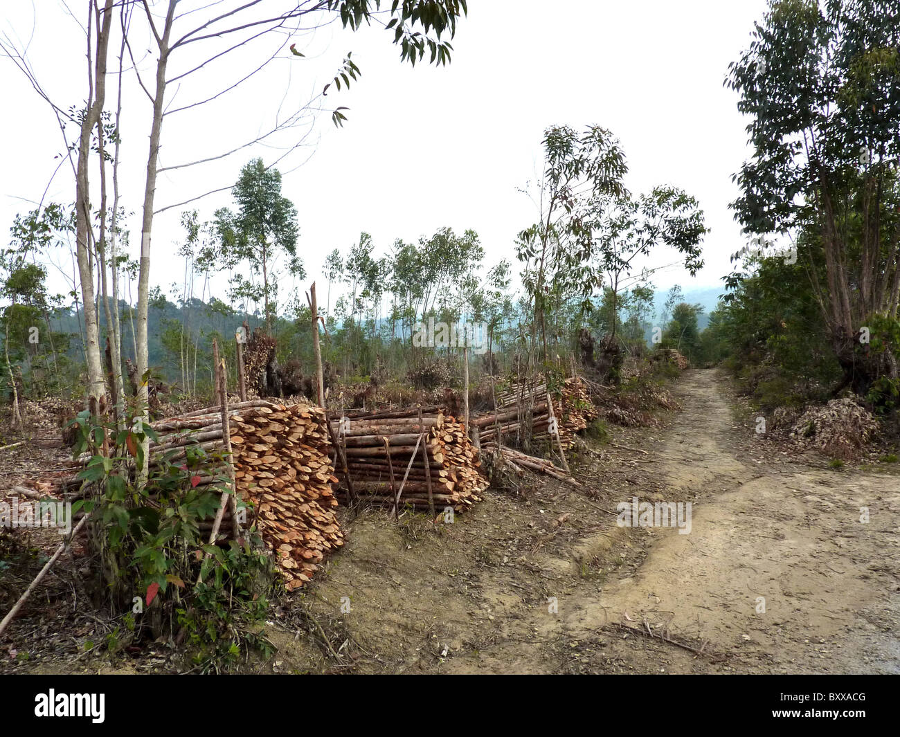MADAGASCAR  Eucalyptus trees harvested for cooking and brick furnaces replace native species in many areas. Photo Stock Photo