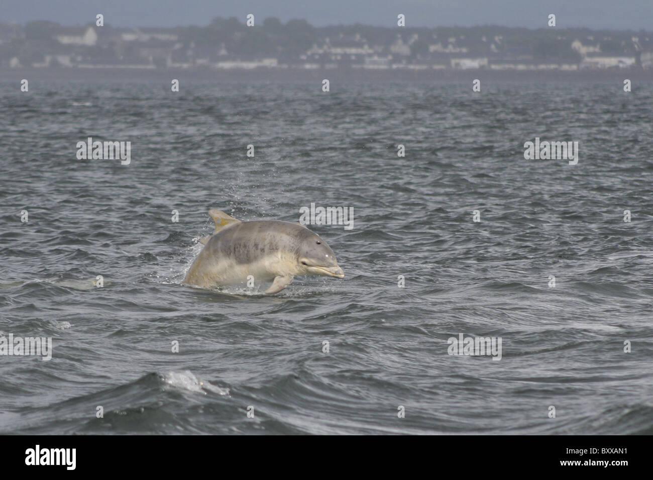 Young Bottlenose dolphin (tursiops truncatus), Moray Firth, Scotland, UK - Stock Image