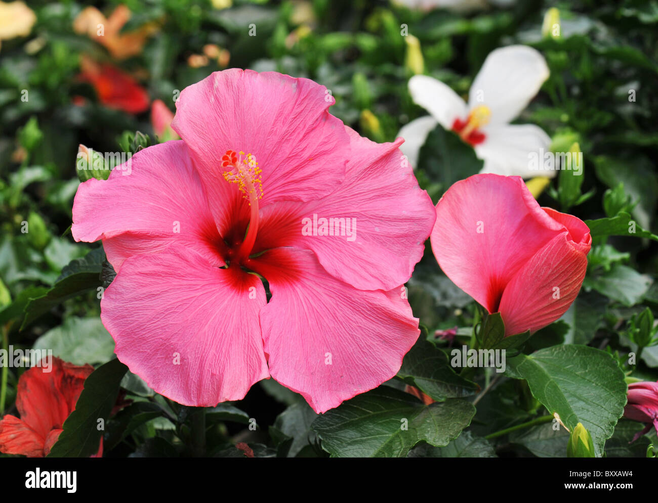 Pink Hibiscus Growing In A Tropical Garden Stock Photo 33770720 Alamy