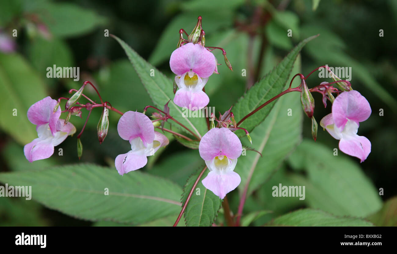 Five pink flowers of Himalayan Balsam (Impatiens glandulifera) - Stock Image