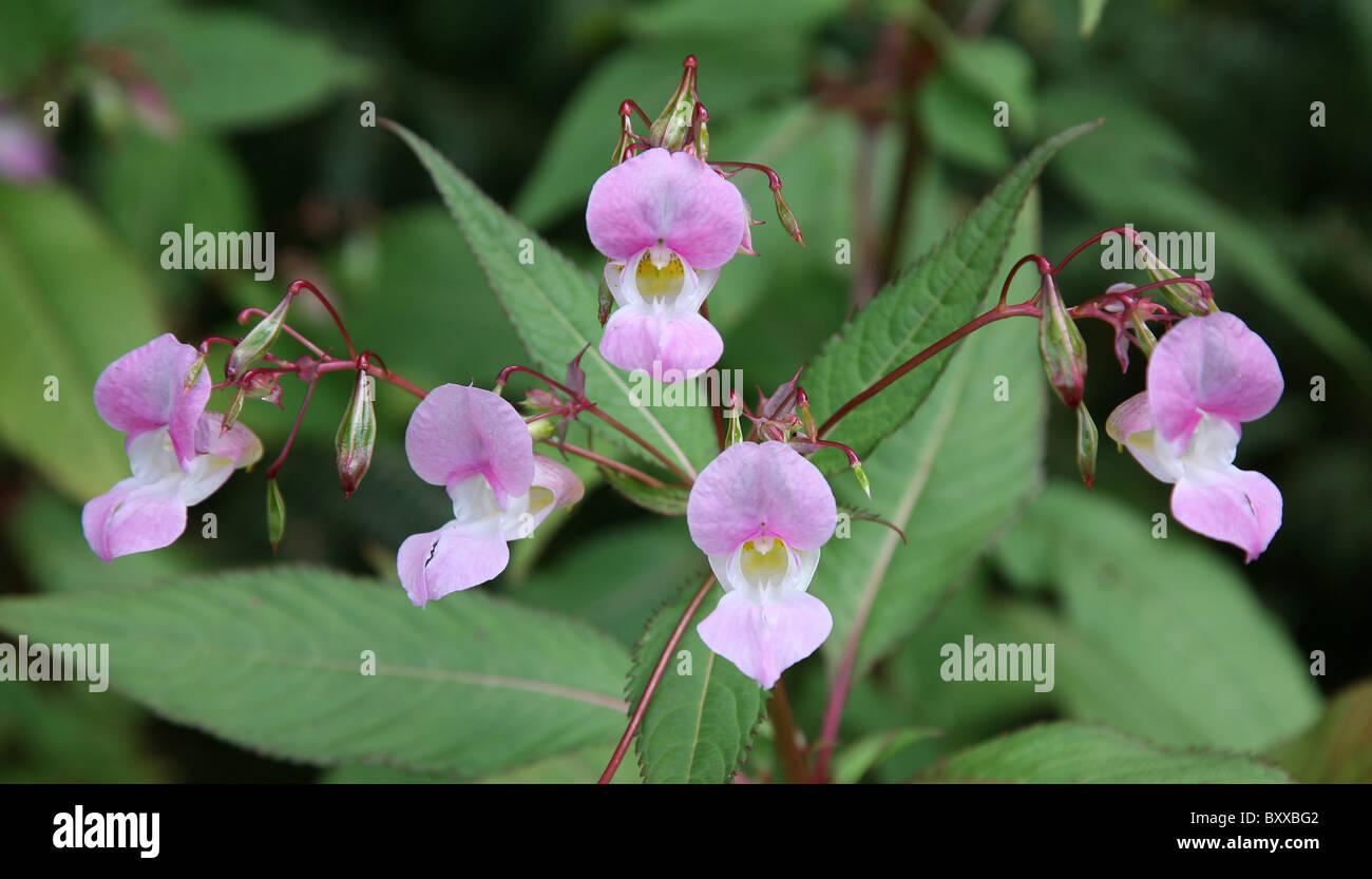 Five pink flowers of Himalayan Balsam (Impatiens glandulifera), England, UK Stock Photo