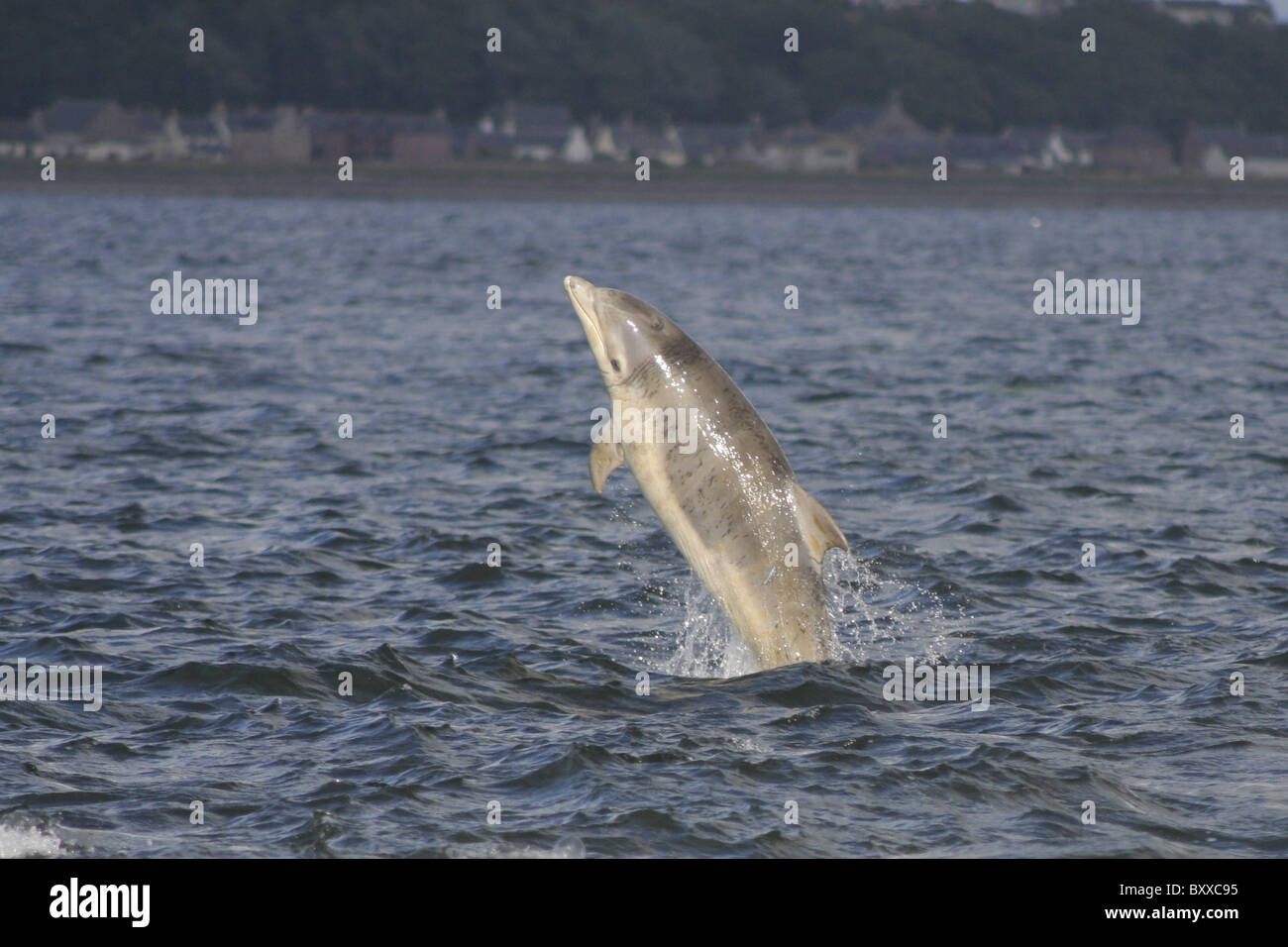 Young Bottlenose Dolphin (Tursiops truncatus) breaching in the Moray Firth, Scotland, UK - Stock Image