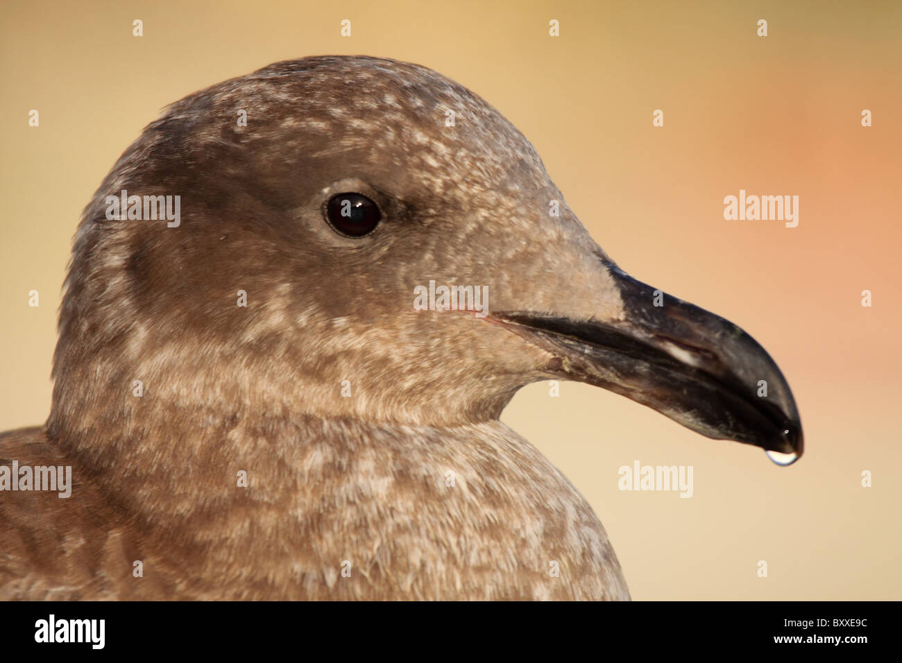 A Western Gull with a drop of water at the end of it's beak. - Stock Image