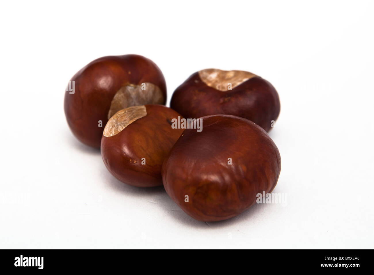 Four conkers - Stock Image