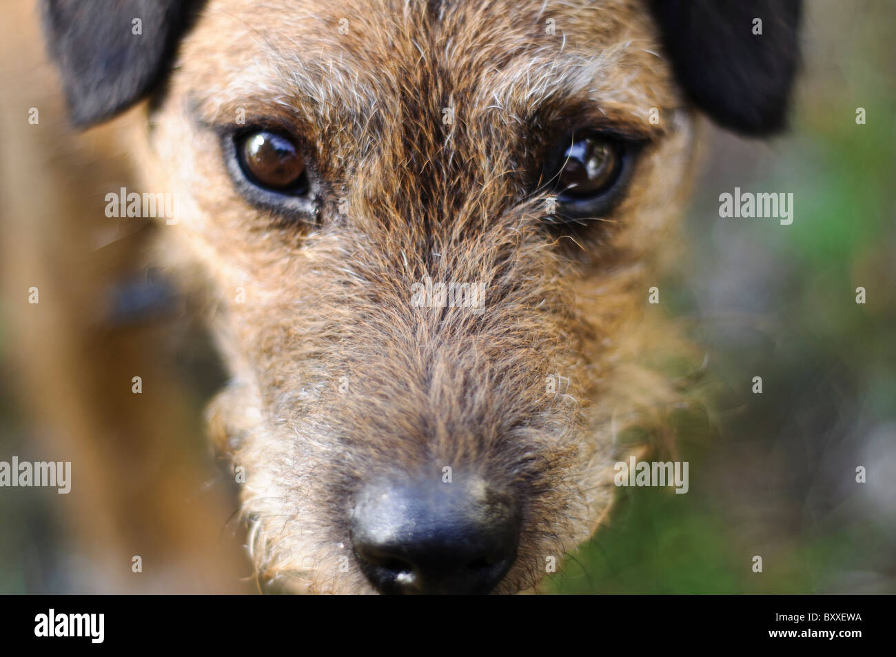 Close up of Border terrier cross Lakeland terrier's head gazing up at camera - Stock Image