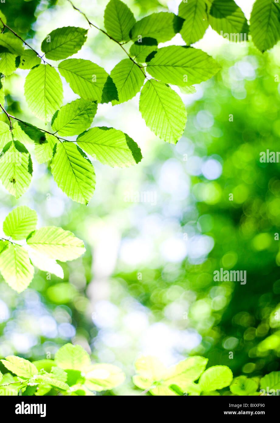 Green leaf in backlighting.Nashulta,Sweden - Stock Image