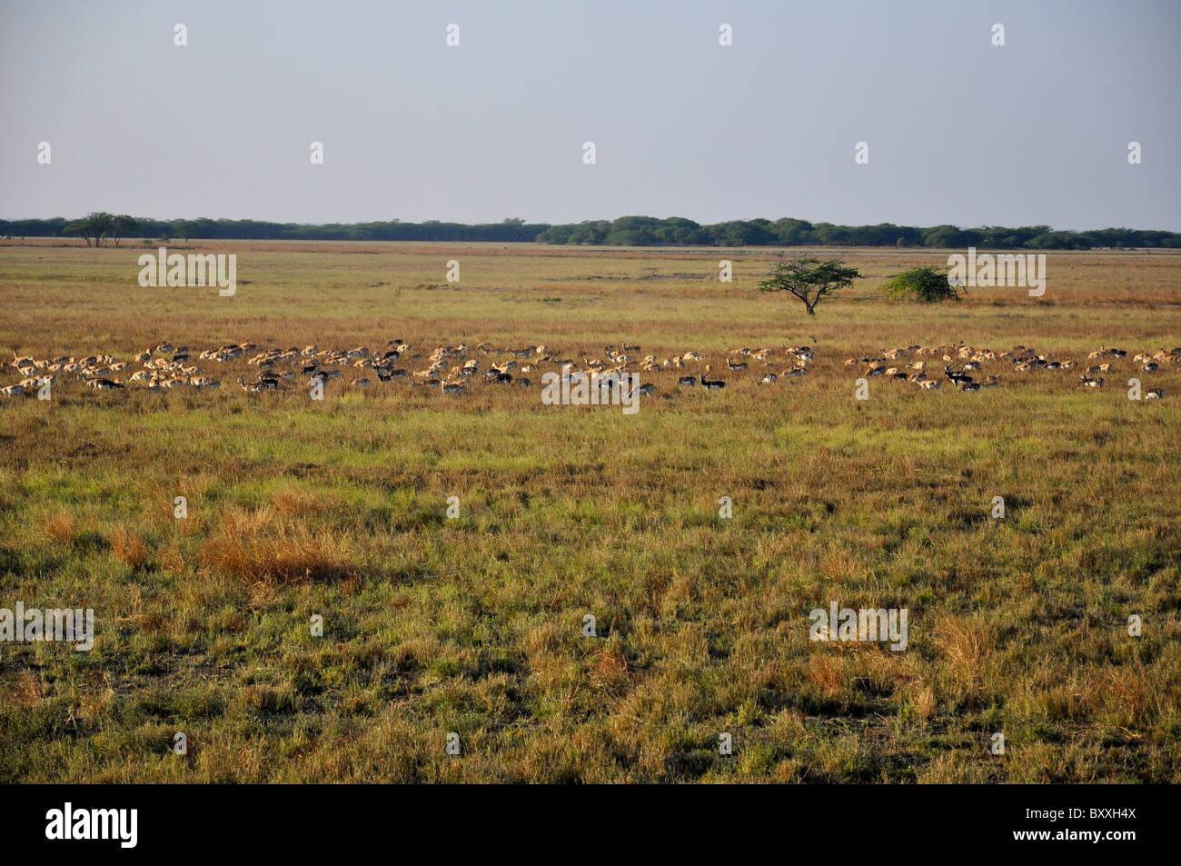 Black bucks in a grass land of Gujarat, India Stock Photo