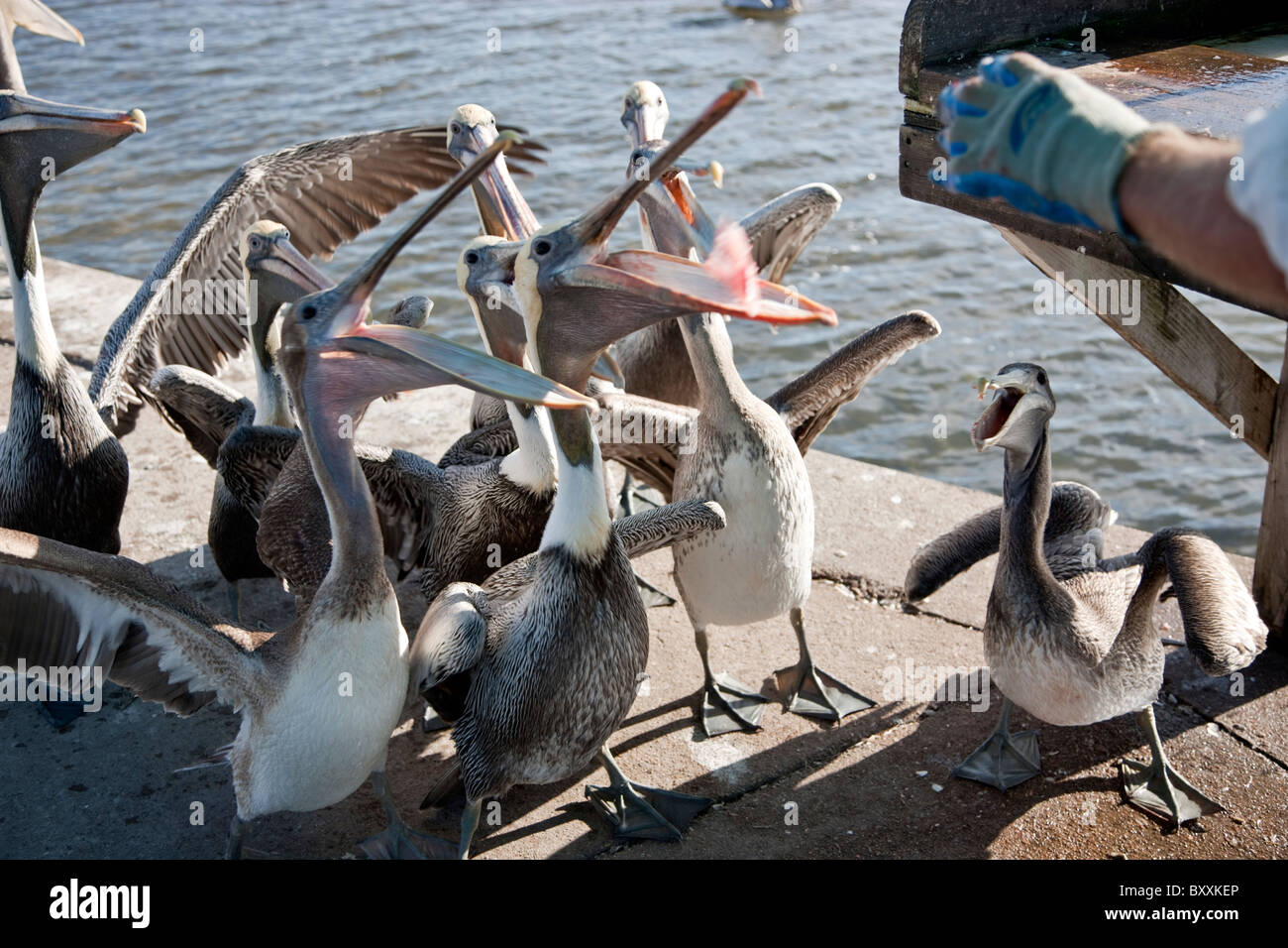 Hungry Brown Pelicans, fisherman fish carcass. - Stock Image