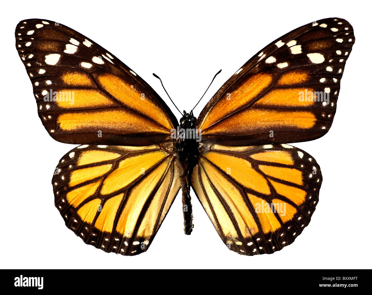 Orange monarch butterfly isolated on the white background - Stock Image