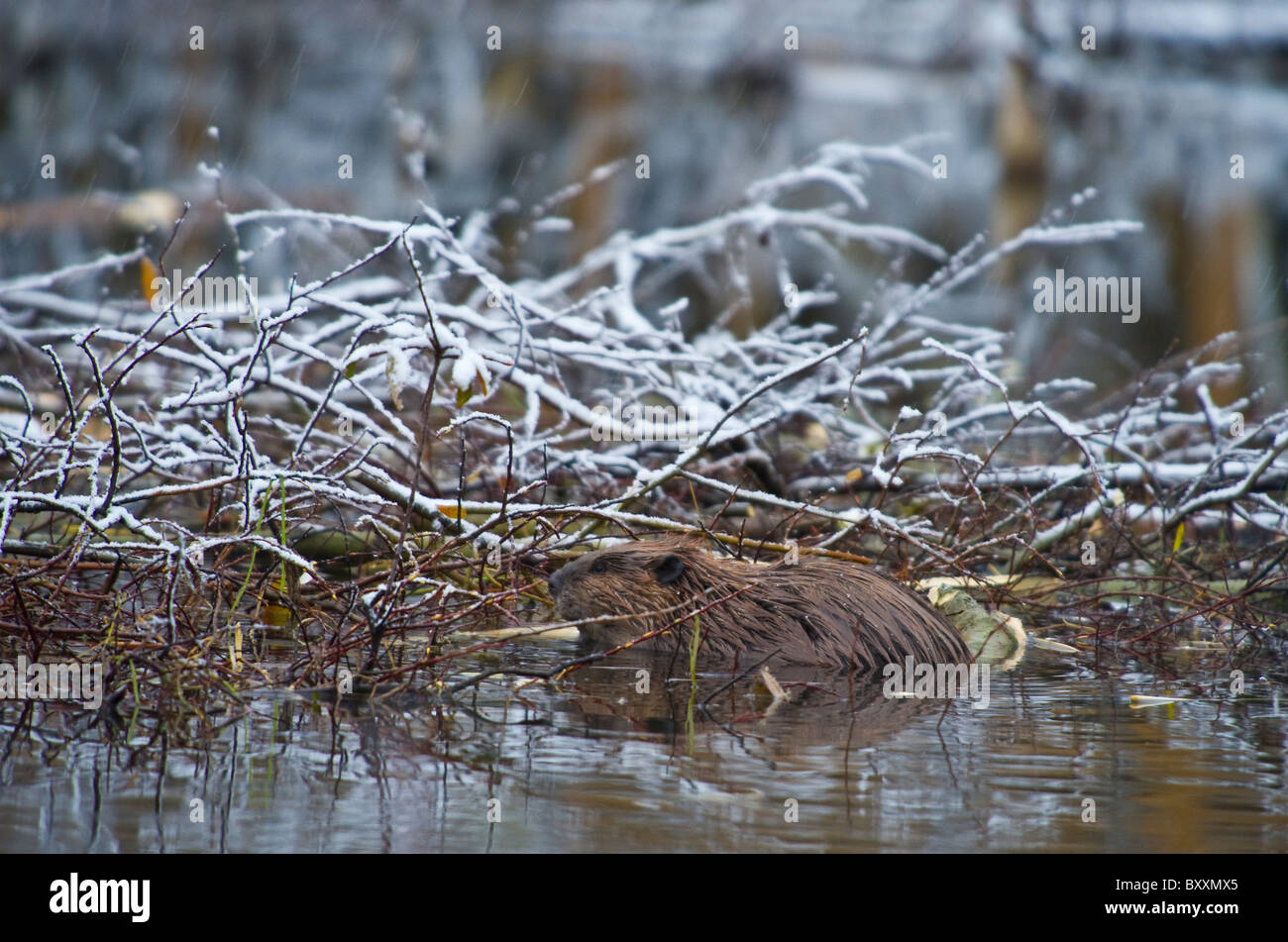 A beaver feeding on his winter food supply - Stock Image