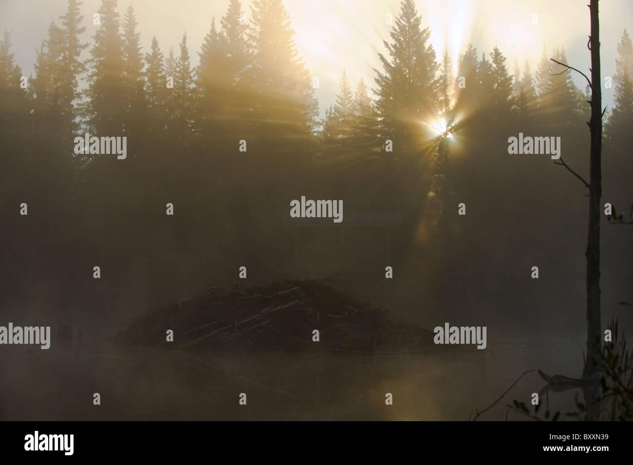 A sunrise image of the beaver lodge on a fog filled autumn morning - Stock Image