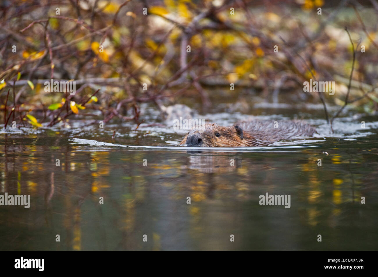 A beaver swims past his winter food storage pile in late autumn. - Stock Image