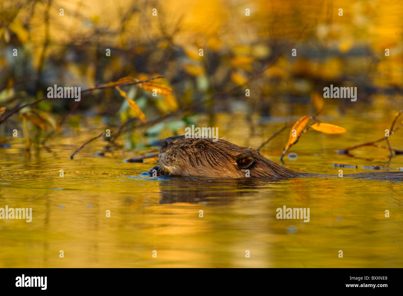 A side view of a beaver feeding on some branches - Stock Image