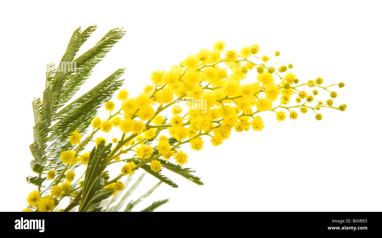Floral flower ball sphere stock photos floral flower ball sphere small branch of mimosa plant with round fluffy yellow flowers stock image mightylinksfo