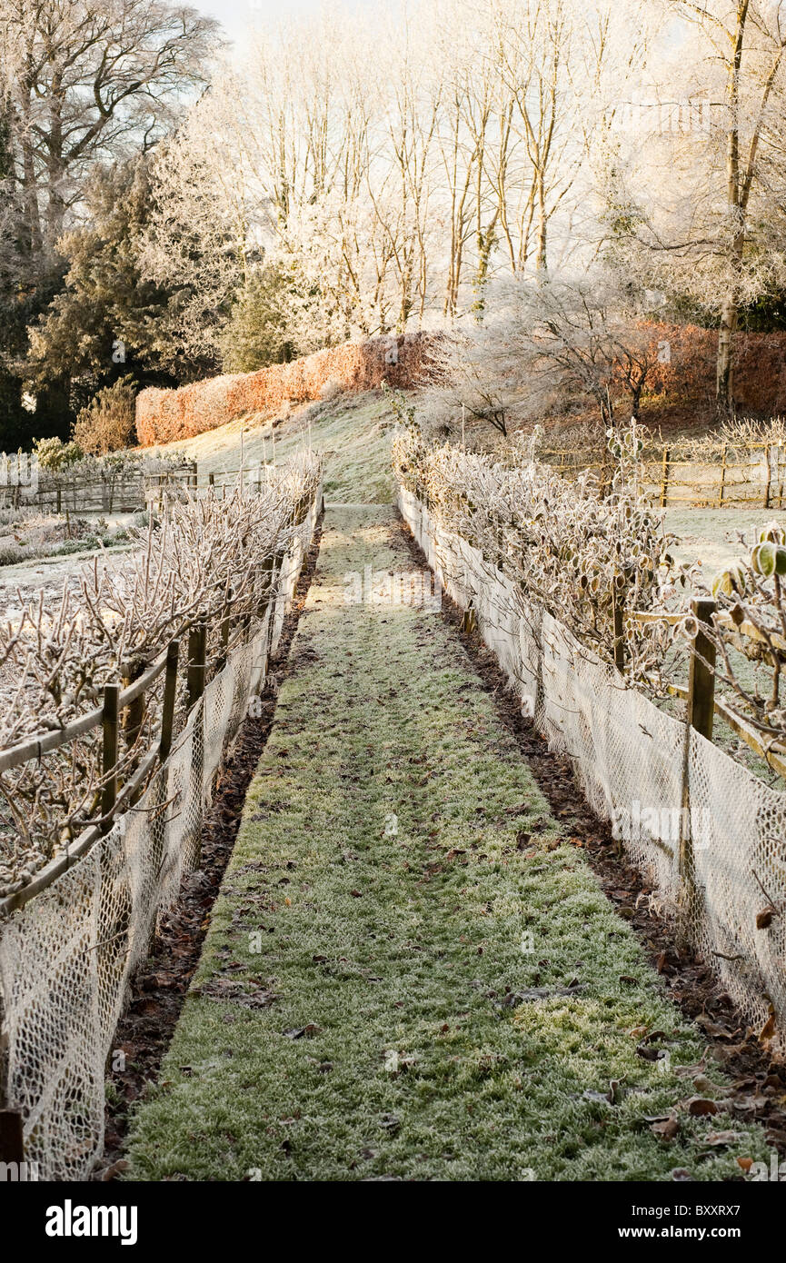 Espaliered fruit trees at Painswick Rococo Garden after a heavy frost, Gloucestershire, England, United Kingdom - Stock Image