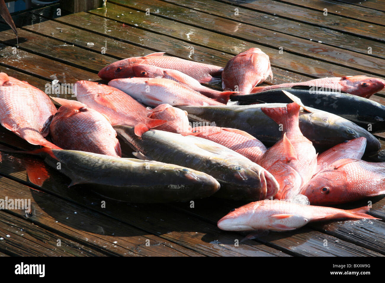 Freashly caught red snapper and other fish lay on the dock. Stock Photo