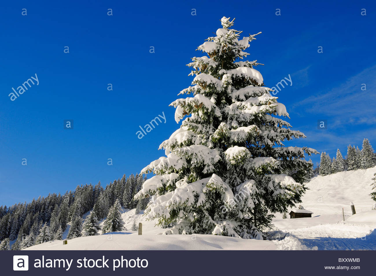 Pine trees in the snow at Grindelwald First - Stock Image