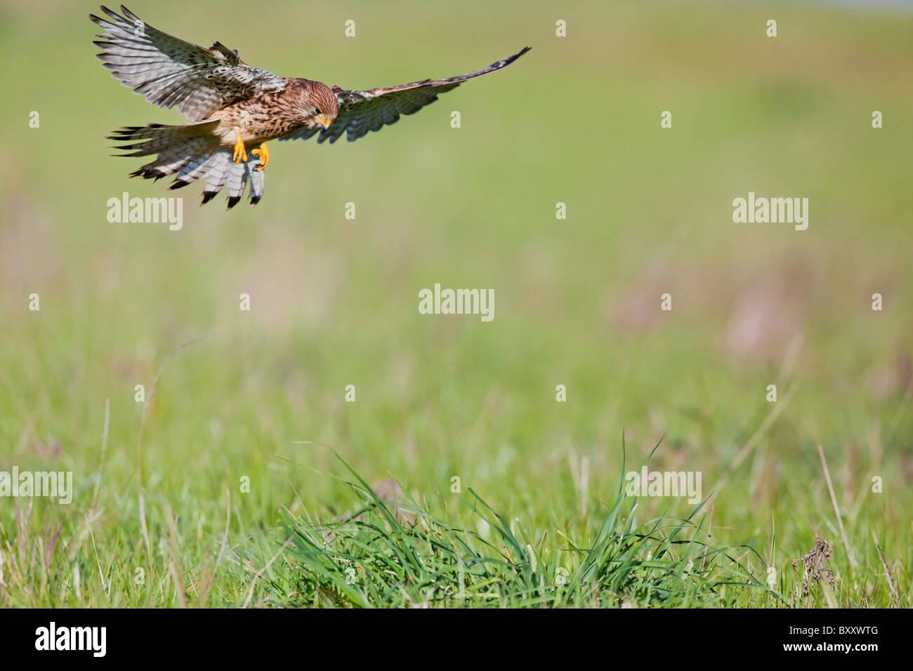 Kestrel ( Falco tinnunculus ) female hunting in long grass - Stock Image