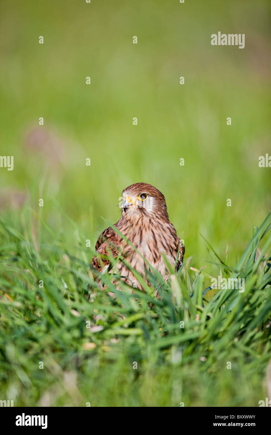 Kestrel ( Falco tinnunculus ) female in long grass - Stock Image