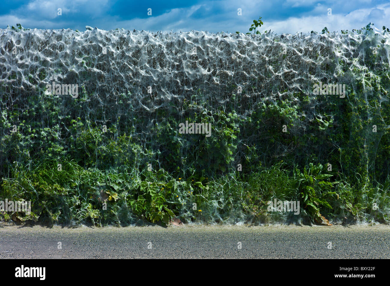 Larvae stage of Tent Moth, Eastern Tent Caterpillars, make tent of silk on host hedgerow in County Cork, Ireland - Stock Image