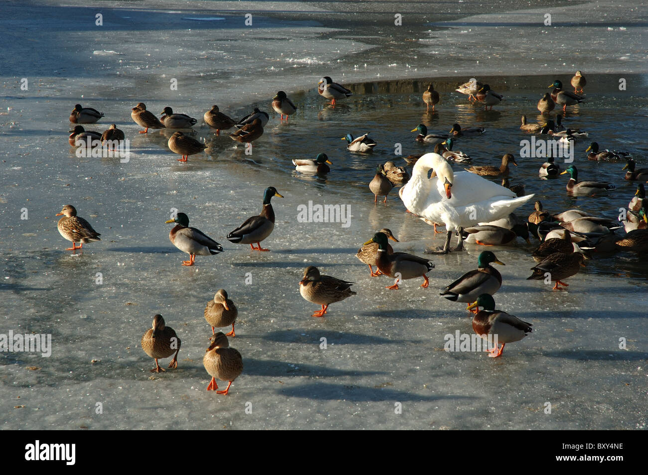 wildfowl on the frozen Grand Union Canal, Foxton, Leicestershire, England, UK - Stock Image