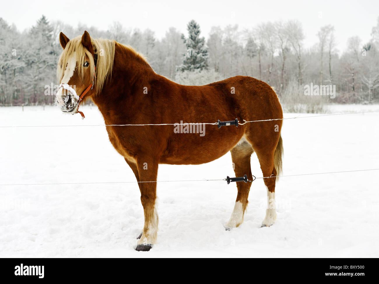 Pferd auf Wiese im Winter, Mühlenbeck, Mecklenburg-Vorpommern, Deutschland, Europa - Stock Image