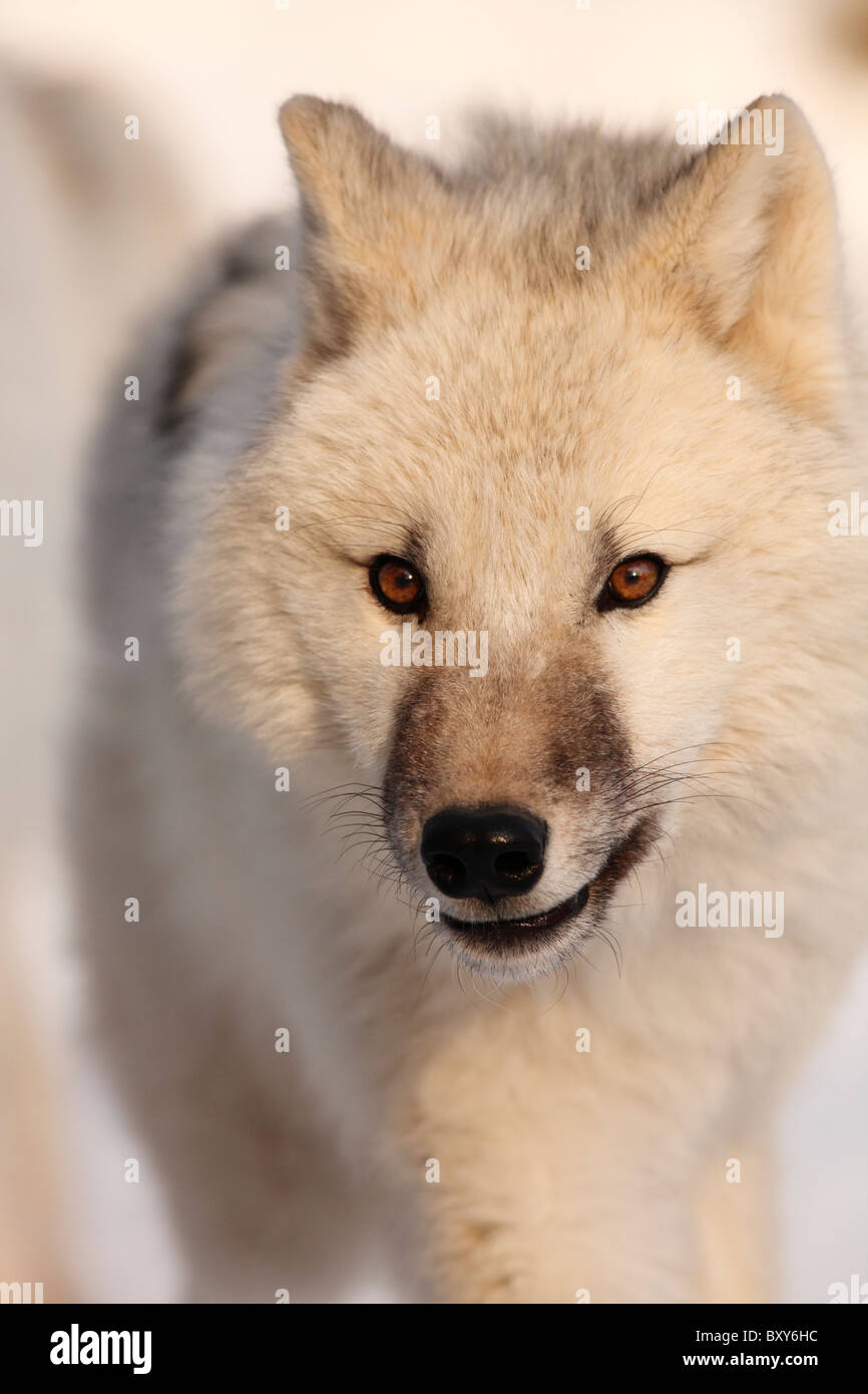 Arctic Wolf whelp; Canis lupus arctos - Stock Image