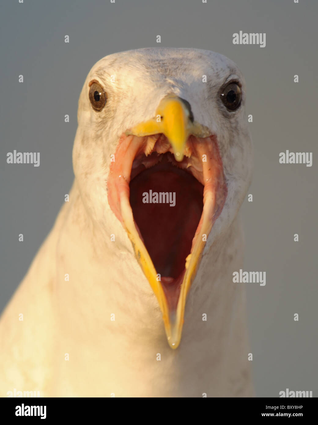 Western Gull calling straight on. - Stock Image