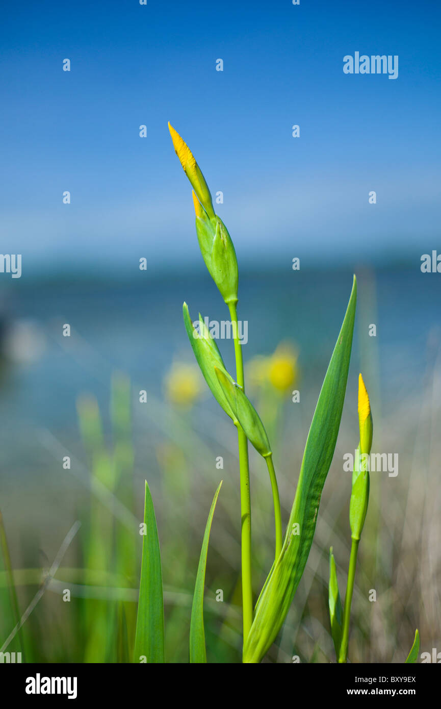 Yellow flag iris growing as wildflower at Muckanagh Lough in County Clare, West of Ireland - Stock Image