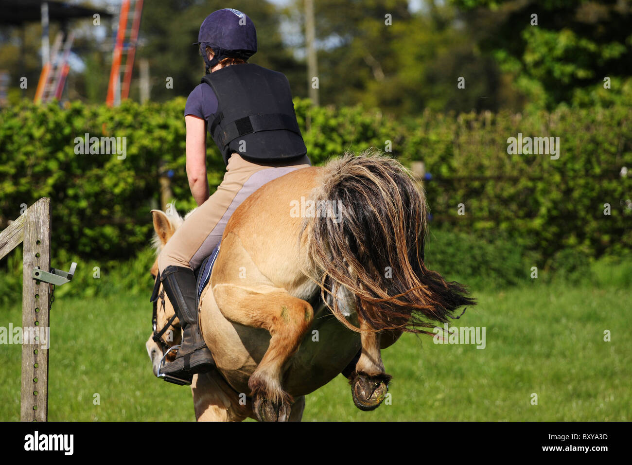 Photo of young lady practising jumping with her Norwegian Fjord Horse.  Rear view showing clean set of hooves - Stock Image