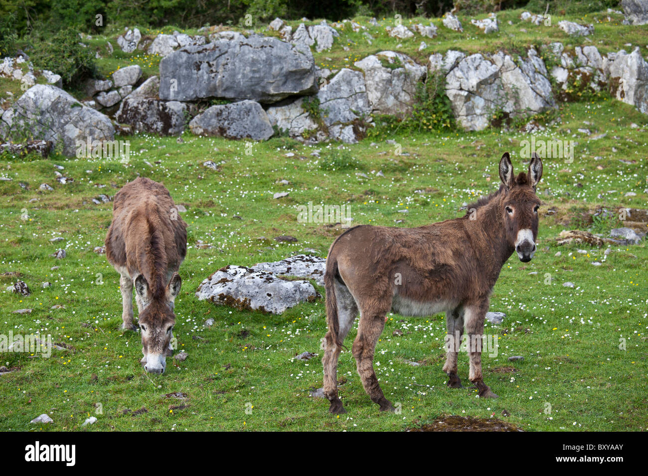 Traditional Irish brown and grey donkeys in The Burren, County Clare, West of Ireland - Stock Image