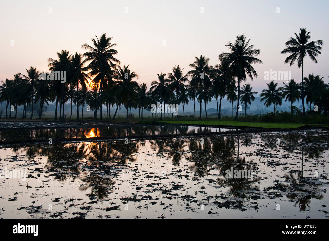 Prepared Indian rice paddy in front of palm trees at sunrise in the Indian countryside. Andhra Pradesh, India - Stock Image