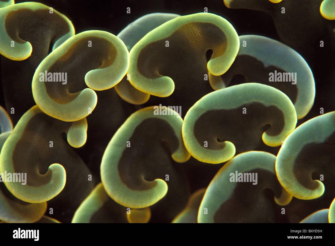 Polyps of Green Anchor Coral, Euphyllia ancora, Mabul, Borneo, Malaysia - Stock Image