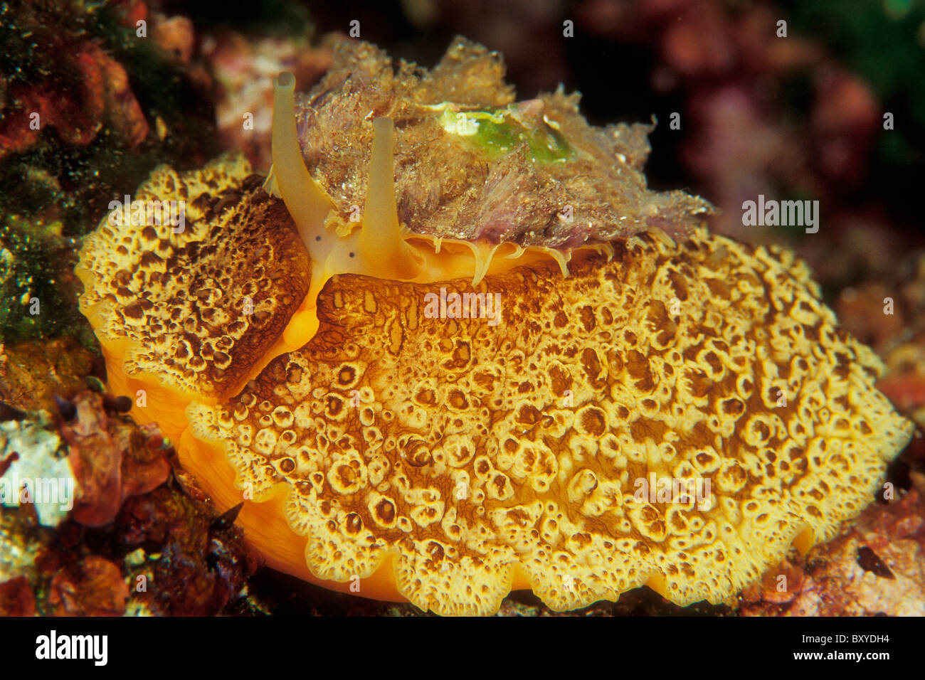 Umbrella Sidegill Slug, Umbraculum mediterraneum, Unije, Adriatic Sea, Croatia - Stock Image