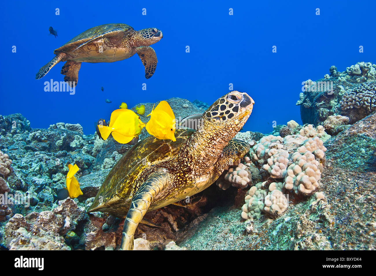 Green Sea Turtle cleaned by Tangs, Chelonia mydas, Big Island, Hawaii, USA - Stock Image
