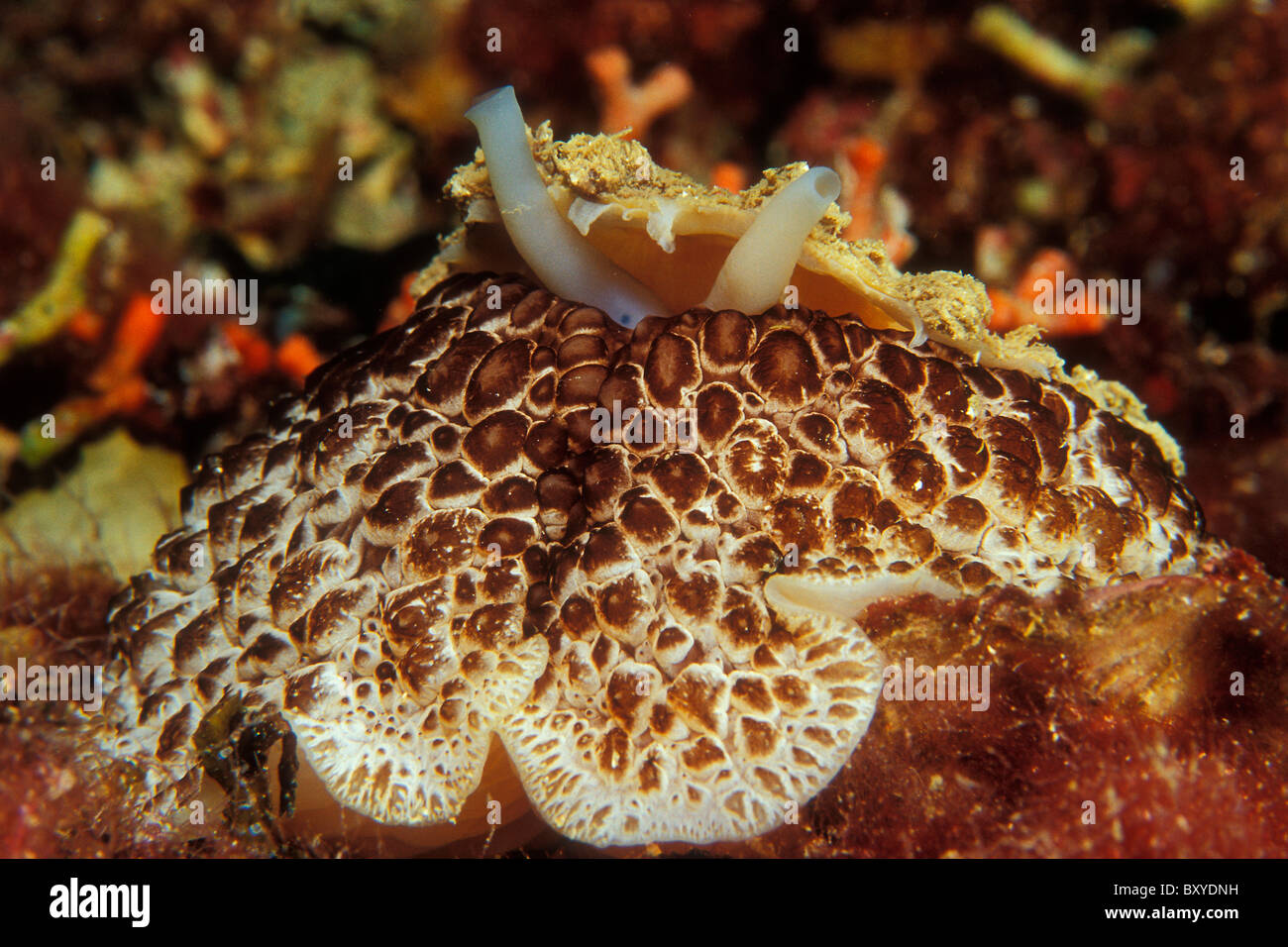 Umbrella Sidegill Slug, Umbraculum mediterraneum, Cres, Adriatic Sea, Croatia - Stock Image