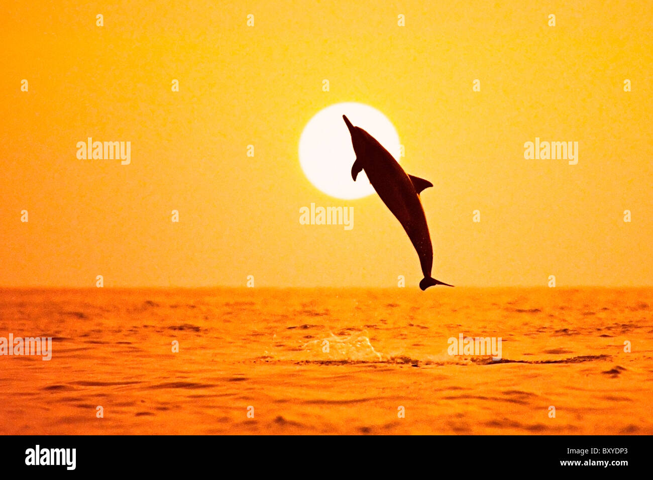 Silhouette of Spinner Dolphin, Stenella longirostris longirostris, Big Island, Hawaii, USA - Stock Image
