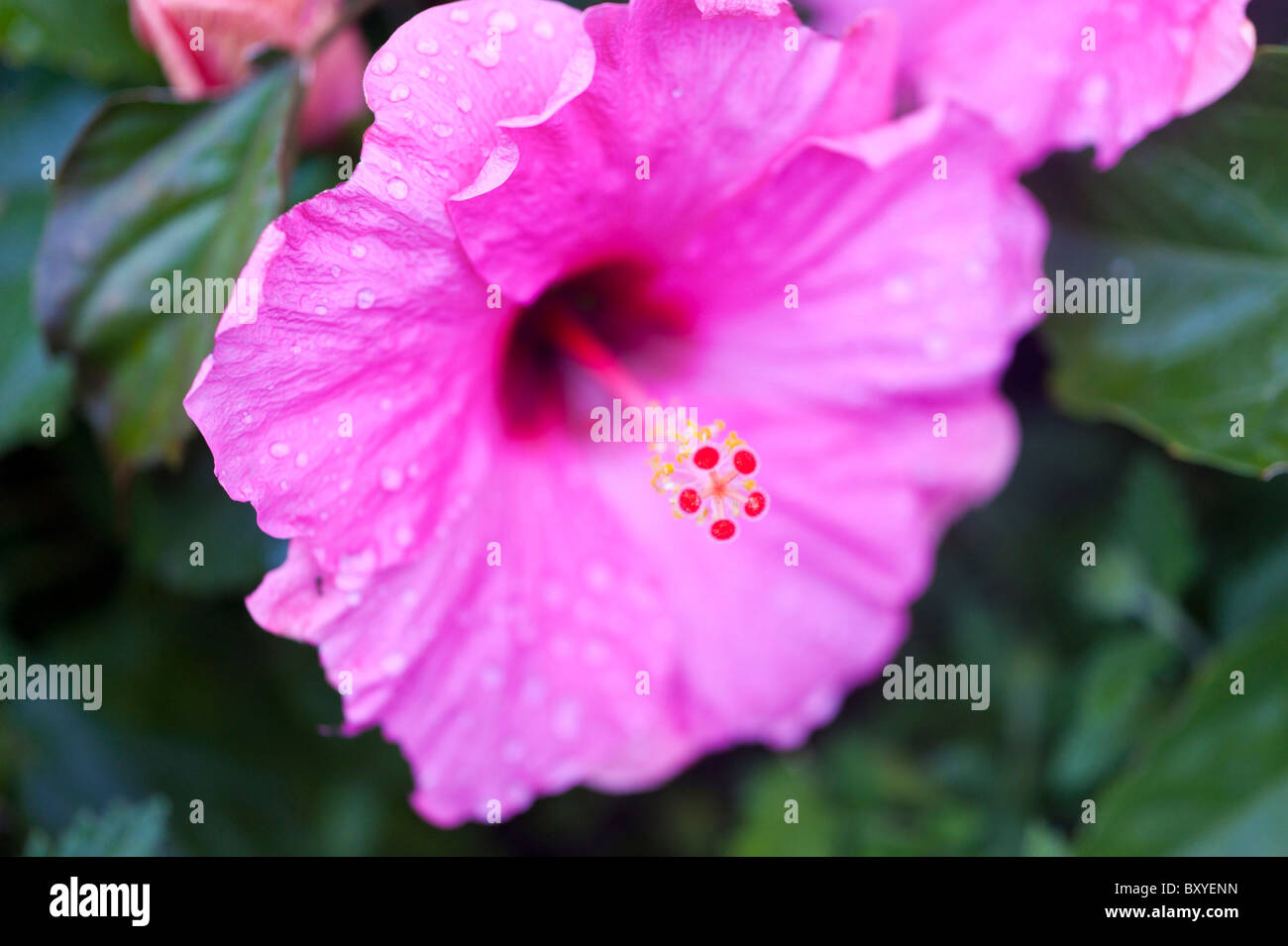 Magenta Hibiscus flower with drops of rain - Stock Image