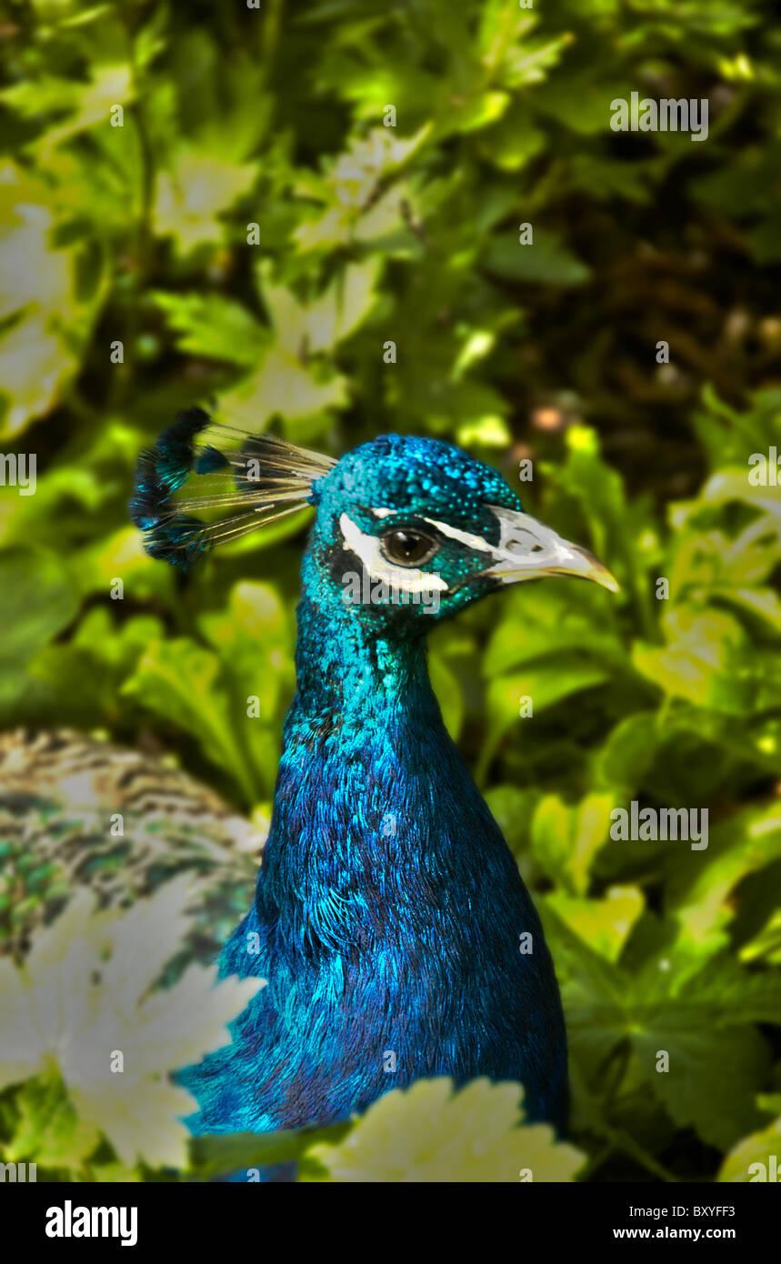 Peacock in garden Stock Photo